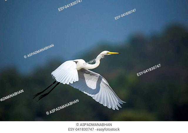 White egret bird in flight across the tropical sky