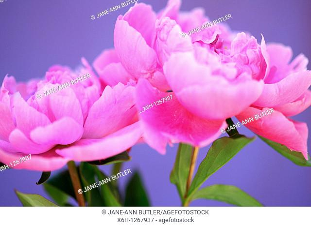 Two Lovely Fragrant Sarah Bernhardt Pink Peonies