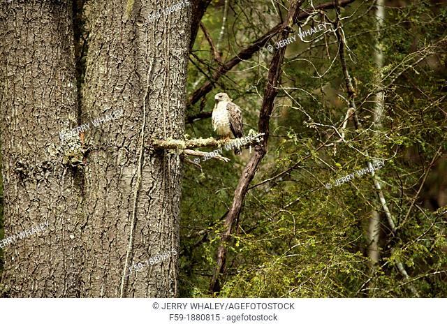 Hawk, Cataloochee Cove, Great Smoky Mountains National Park, NC