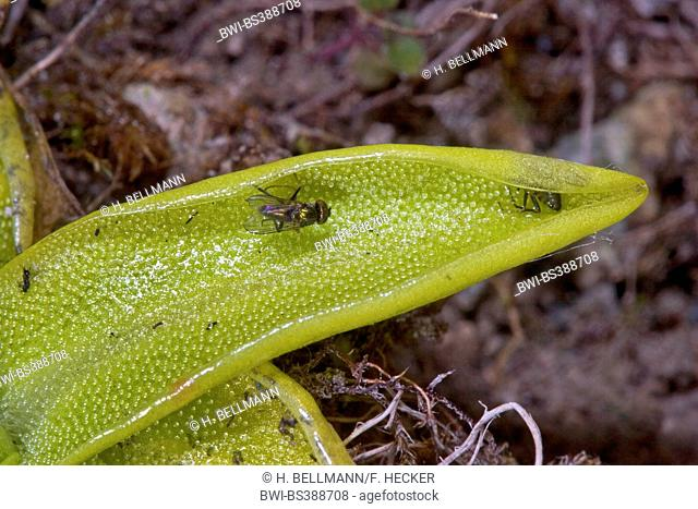 common butterwort (Pinguicula vulgaris), sticky leaves with adhering insects, Germany