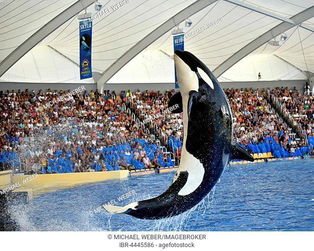Orca show, Orca (Orcinus orca) jumping out of the water, Loro Parque, Puerto de la Cruz, Tenerife, Canary Islands, Spain