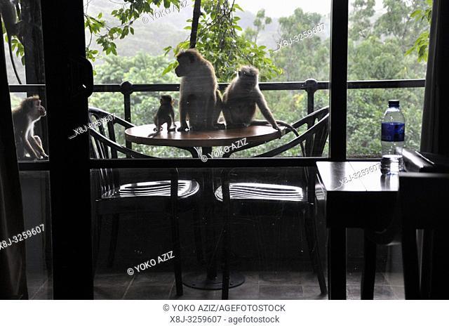 Sri Lanka, Dambulla, Hotel Kandalama, monkeys