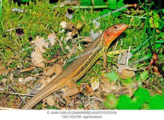 Psammodromus manuelae, Large Psammodromus, male in heat, may, Mogarraz, Las Batuecas-Sierra de Francia Natural Park, Salamanca, Castilla y Leon, Spain
