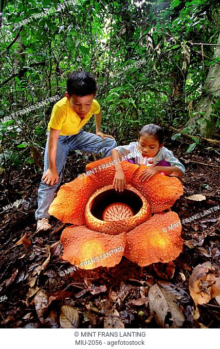 Children with a large orange rafflesia flower on Mt. Kinabalu, Sabah, Borneo