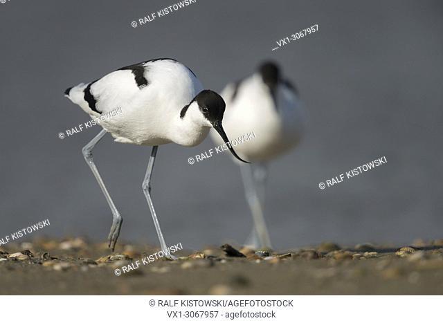 Pied Avocet ( Recurvirostra avosetta ), pair, pair, leaving the water, walking on a mussel bank, typical habitat, wadden sea, wildlife, Europe