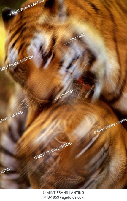 Bengal tigers fighting, Panthera tigris tigris, Native to India