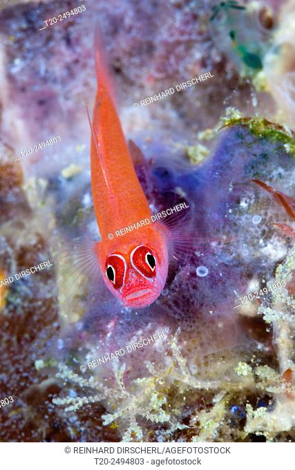 Ring-eyed Goby, Trimma benjamin, Florida Islands, Solomon Islands