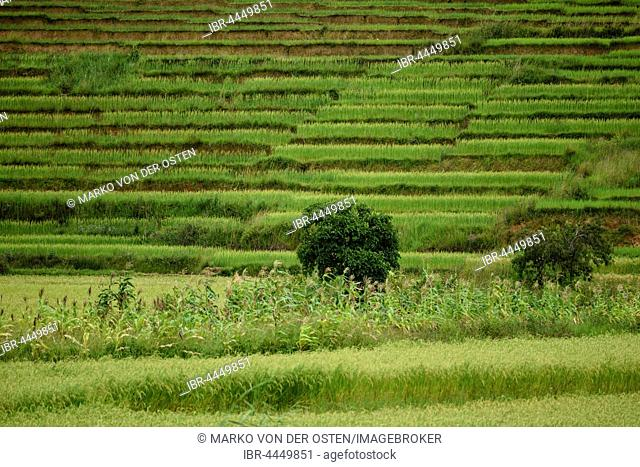 Rice terraces, Talata-Ampano, Madagascar