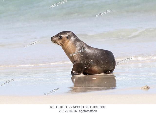 Australian Sea Lion pup at water's edge (Neophoca cinera) Seal Bay Conservation Park, Kangaroo Island, Austrtalia
