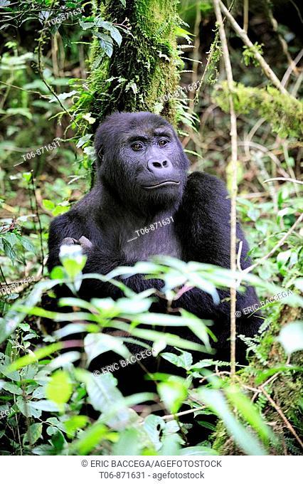 Femelle eastern lowland gorilla in the equatorial forest of Kahuzi Biega Park (Gorilla beringei graueri) Democratic  Republic of Congo, Africa