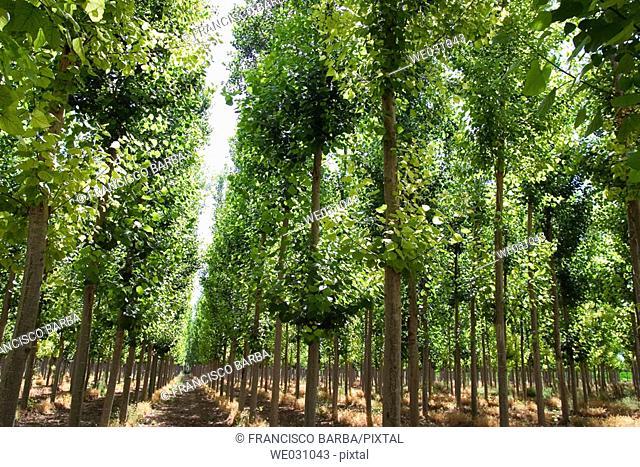 Black Poplars (Populus nigra). Fuentevaqueros, Granada province. Andalusia, Spain