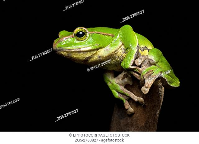 Gliding frog (Rhacophorus burmanus )