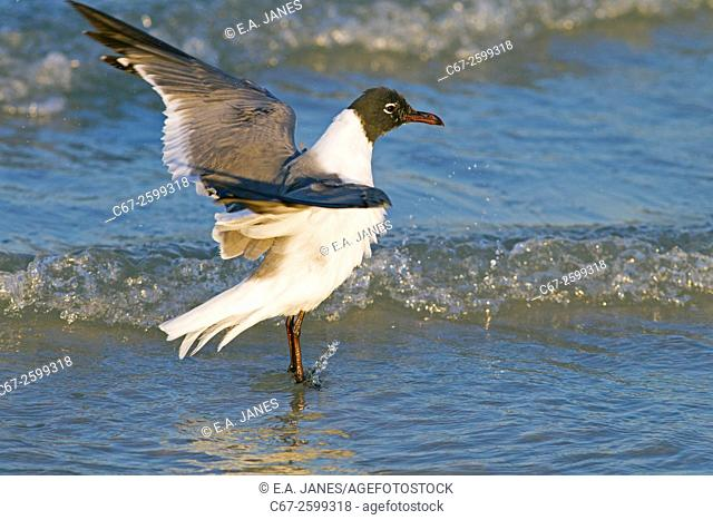 Laughing Gull Larus atricilla stretching Fort Myers Gulf Coast Florida