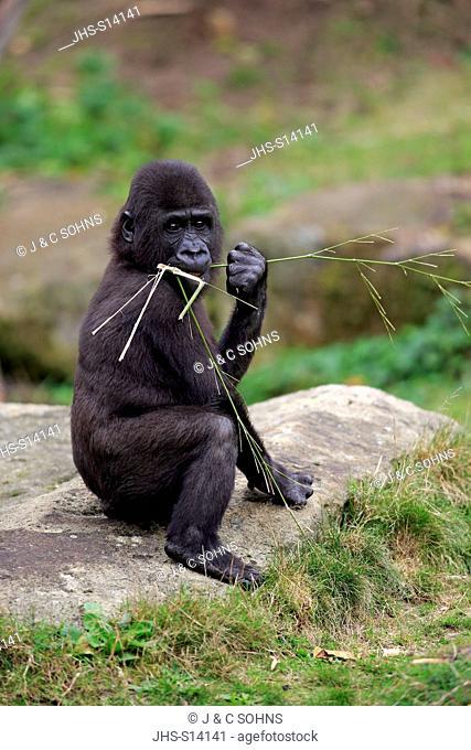 Lowland Gorilla, (Gorilla gorilla), young feeding, Africa