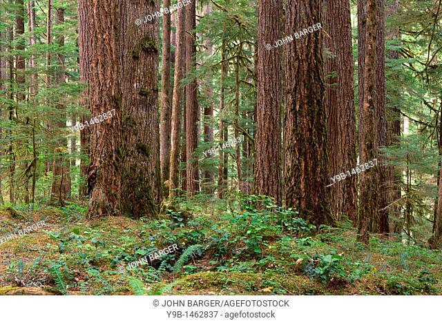 Old growth forest with Douglas fir and western hemlock, Ohanepecosh Valley, Mt  Rainier National Park, Washington, USA