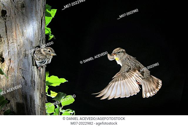Rock sparrow Petronia petronia coming to nest hole in a tree tronk
