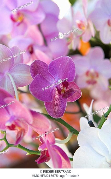 France, Reunion Island, Saint Pierre, market on Saturdays, orchid flower