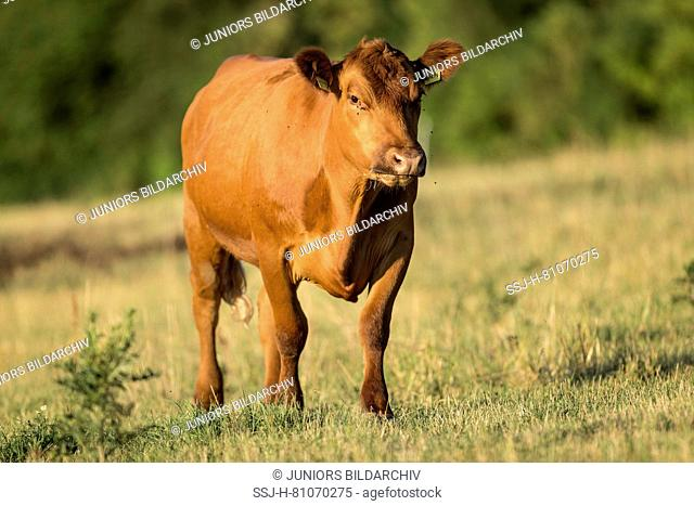German Angus Cattle. Cow standing on a pasture. Germany
