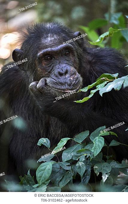 Portrait of male chimpanzee (Pan troglodytes schweinfurthii) Kibale National Park, Uganda, Africa