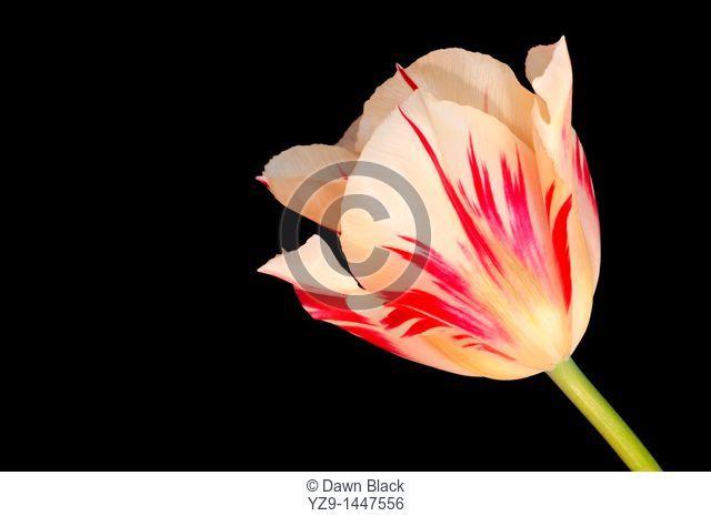 Tulipa 'Flaming Spring Green'