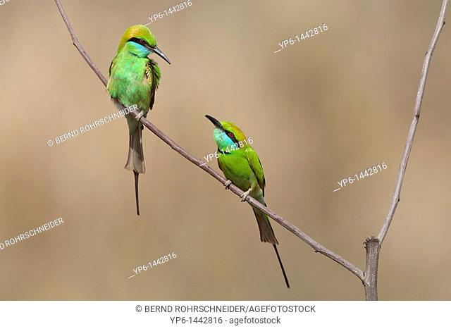 Green Bee-eaters Merops orientalis sitting on twig, Kanha National Park, Madhya Pradesh, India