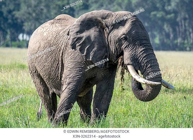An African bush elephant (Loxodonta africana), aka African savanna elephant eating in Maasai Mara National Reserve , Kenya