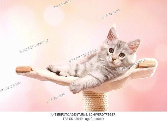 lying Maine Coon Kitten