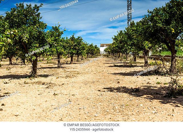 Orange trees. Valencia. Spain