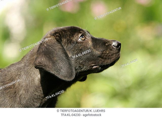 Cao de Castro Laboreiro Puppy