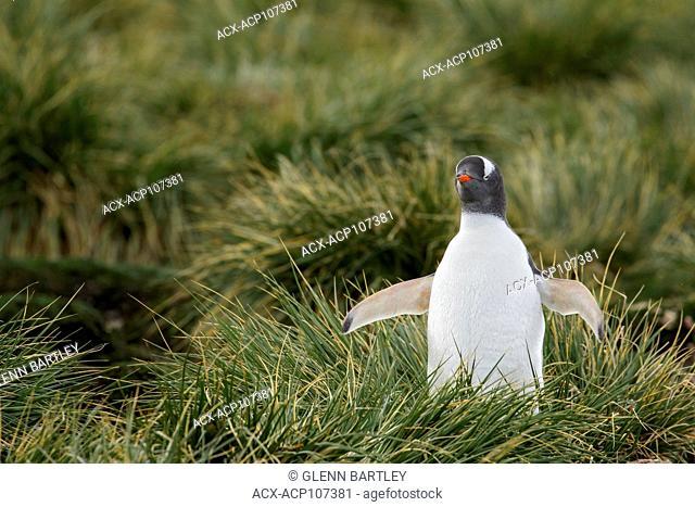 Gentoo Penguin (Pygoscelis papua) perched on tussock grass on South Georgia Island