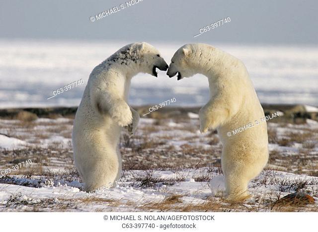 Adult male Polar Bears (Ursus maritimus) in ritualistic fighting stance (injuries are rare!) near Churchill, Manitoba, Canada