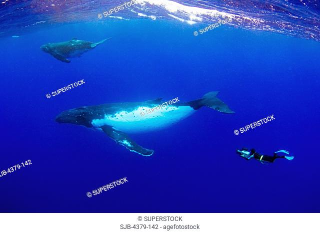 A filmmaker films humpback whales Megaptera novaeangliae, Toku, Vava'u, Tonga