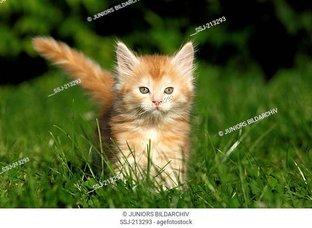 American Longhair, Maine Coon. Kitten (6 weeks old) running on a meadow. Germany