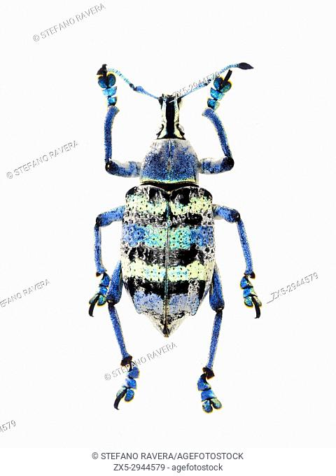 Blue Weevil in resin - New Guinea