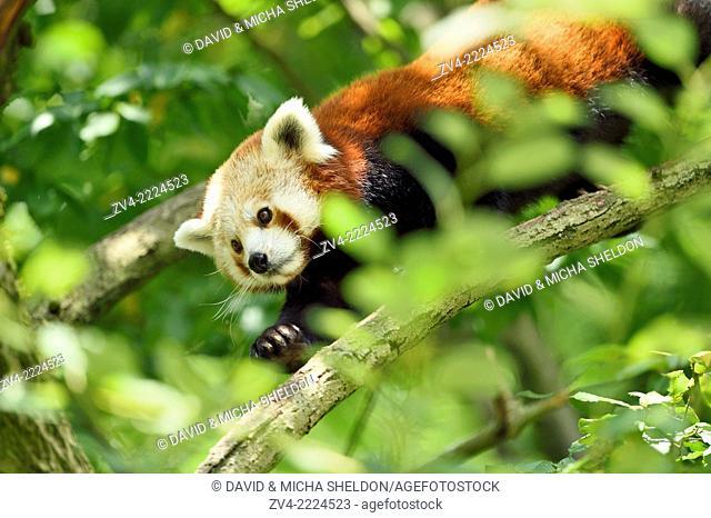 Close-up of Red panda (Ailurus fulgens) in boughs in summer