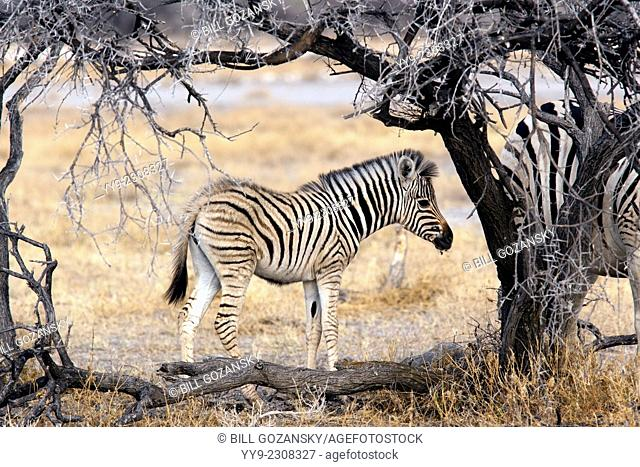 Burchell's zebra (Equus quagga burchellii) - Etosha National Park - Namibia, Africa