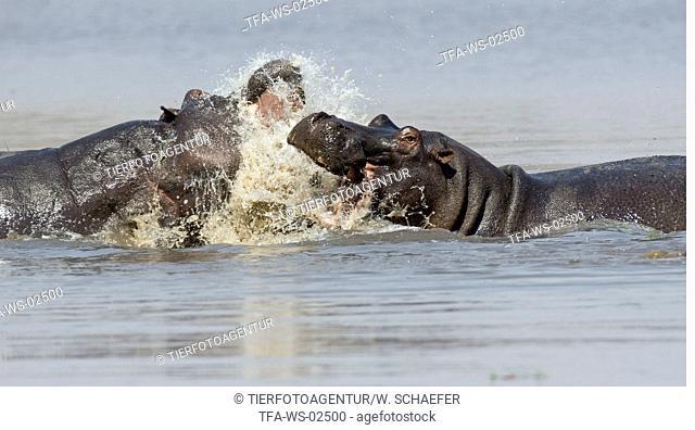 fighting hippos