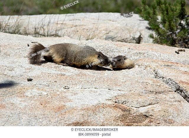 Yellow-bellied marmots (Marmota flaviventris), Yosemite National Park, California, United States