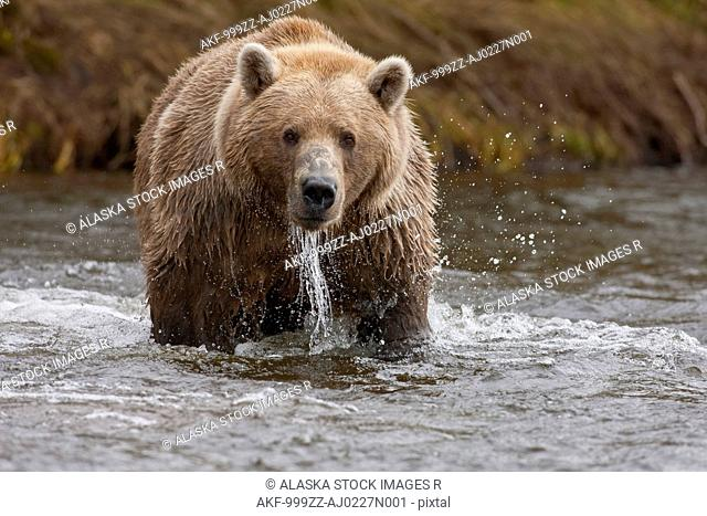 Brown bear fishing for salmon, Grizzly Creek, Katmai National Park and Preserve, Southwest Alaska, Summer