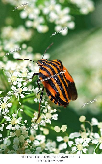 Stripped Shield Bug (Graphosoma lineatum)
