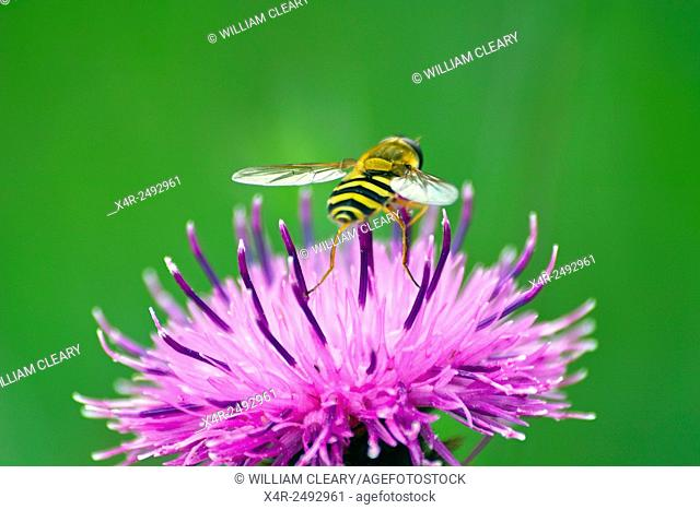 Hoverfly of the Syrphus family resting on the purple flower of Black Knapweed, also known as Knobweed Centaurea nigra in a meadow field, County Westmeath