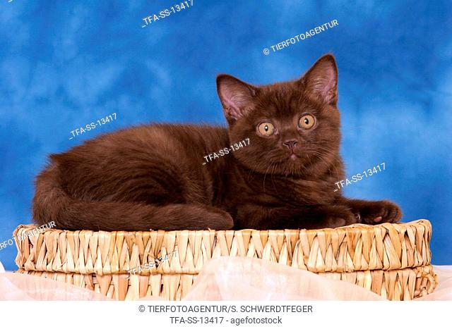 chocolate British Shorthair kitten