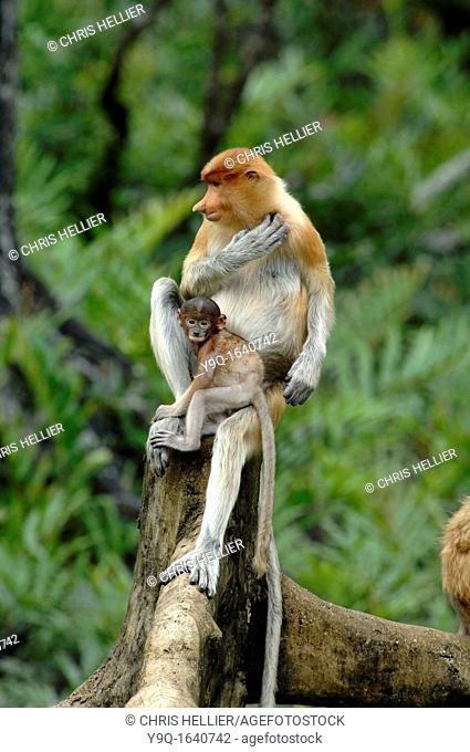Proboscis Monkeys Female Mother & Baby at Labuk Bay Proboscis Monkey Sanctuary Sabah Borneo Malaysia