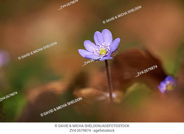 Close-up of Common Hepatica (Anemone hepatica) blossoms in a forest in spring