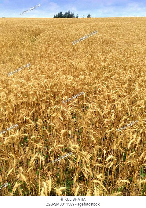 Ripe wheat before harvest in a field on a sunny day, Ontario, Canada