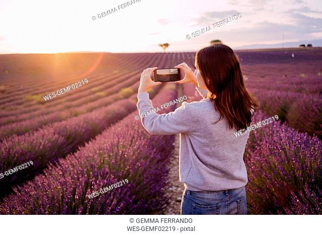 France, Valensole, back view of woman taking photo of lavender field at sunset