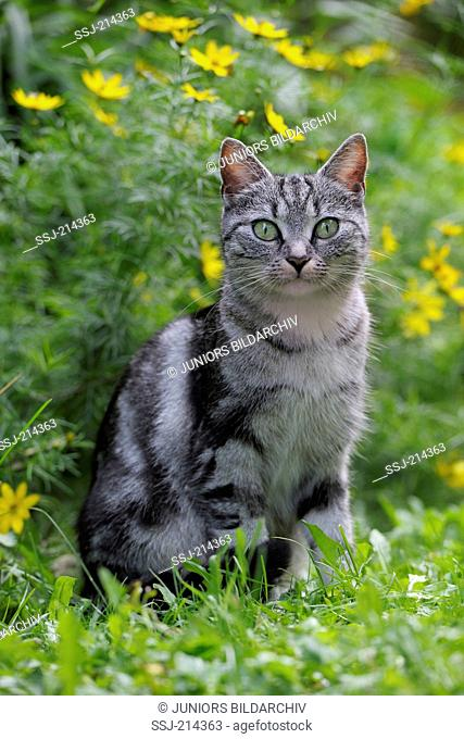 Domestic cat. Tabby adult sitting in a garden. Germany