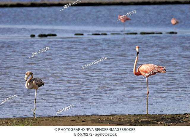 Caribbean Flamingo (Phoenicopterus ruber ruber) with fledgling, Curacao, the Netherlands Antilles, Caribbean