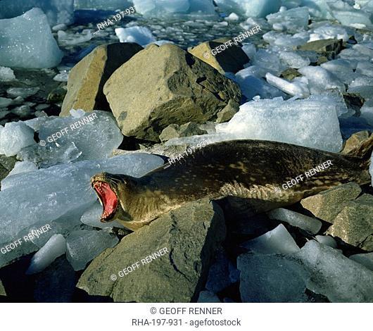 Weddell seal, Antarctica, Polar Regions