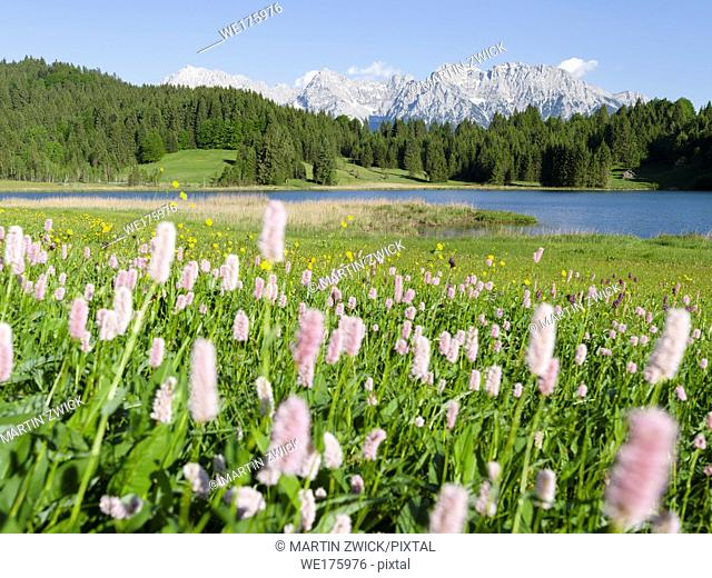 Karwendel mountain range near Mittenwald, Lake Wagenbruch See (Geroldsee) during spring, common bistort in the foreground